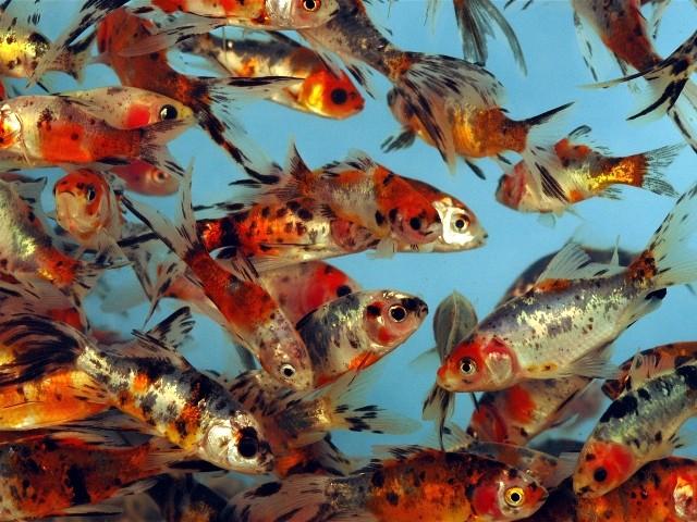 Fish for Shubunkin fische